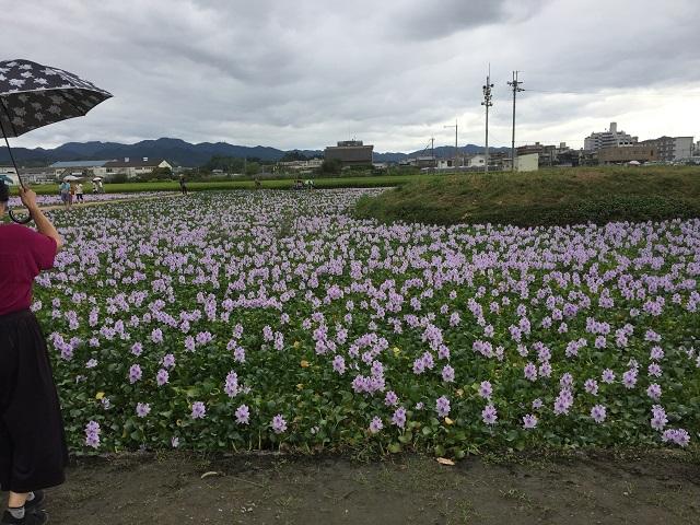 9月11日 本薬師寺ホテイアオイ-r.jpg