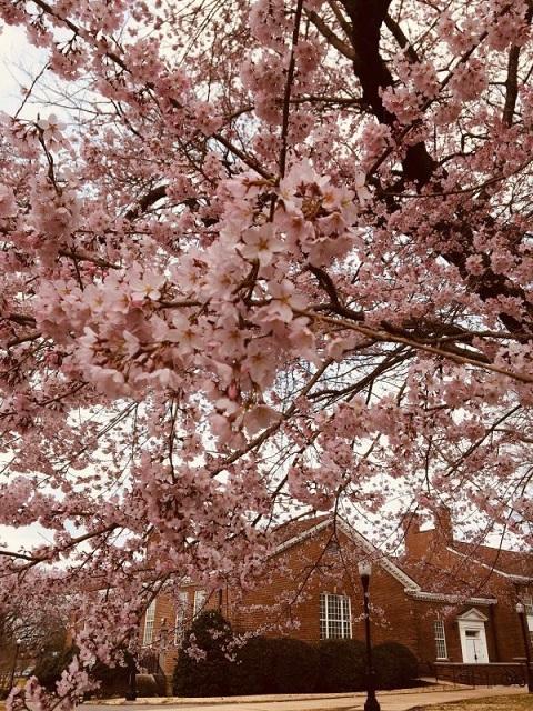 Sayaka Cherry Blossoms Blooming on Campus.jpg